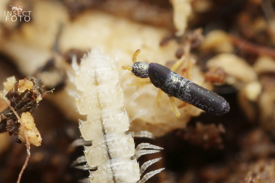 Collembola sp.